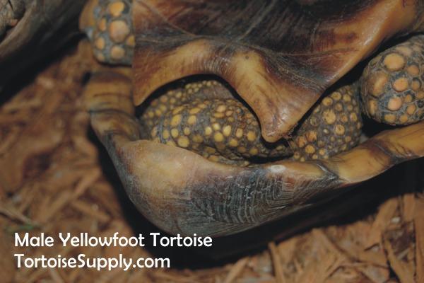 yellowfootmaletail.jpg