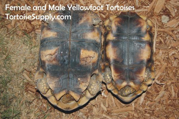 yellowfootpairtails.jpg